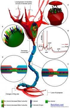 Modifications électrophysiologiques et morphologiques des neurones liées à l'âge. Le neurone est décrit comme un neurone générique myélinisé par souci de simplicité, afin de résumer les informations provenant de différents modèles animaux et types de cellules neuronales.