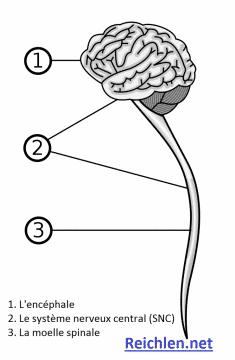 Diagramme d'un système nerveux central humain | Photo. Reichlen.net © Grm_wnr [NIH US.gov]